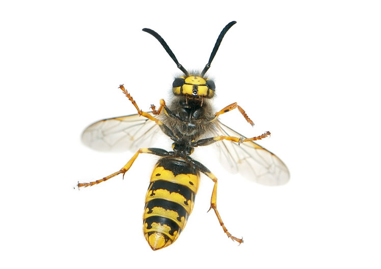 Wasp Control Tyldesley 24/7, same day service, fixed price no extra!