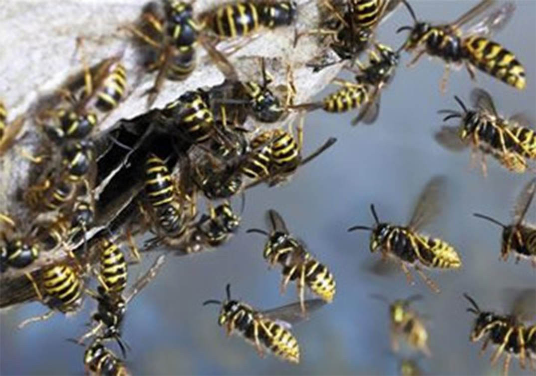 Wasp Control Stockport 24/7, same day service, fixed price no extra!