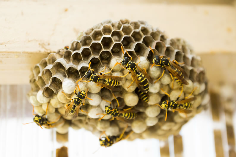 Wasp Control Stockport - Wasp nest treatment 24/7, same day service, covering Stockport, Stockport and cheshire, fixed price no hidden extras!
